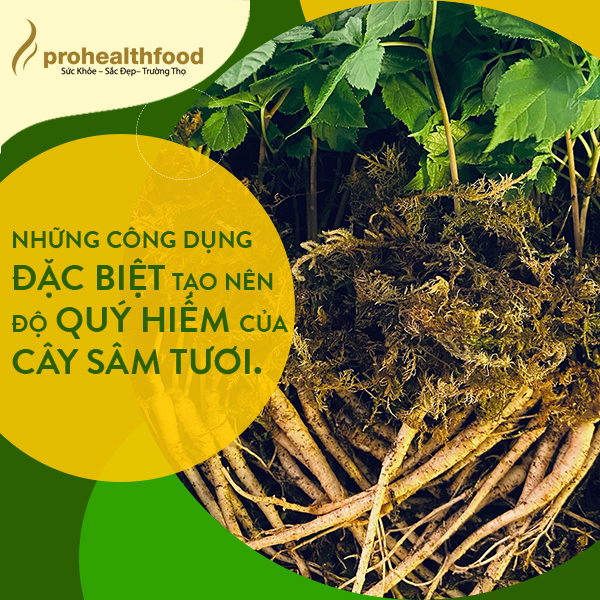Những công dụng đặc biệt tạo nên độ quý hiếm của cây sâm tươi.